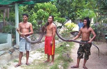 no2莽山洛铁头蛇   莽山烙铁头的重量是烙铁头蛇的十倍以上,由于体