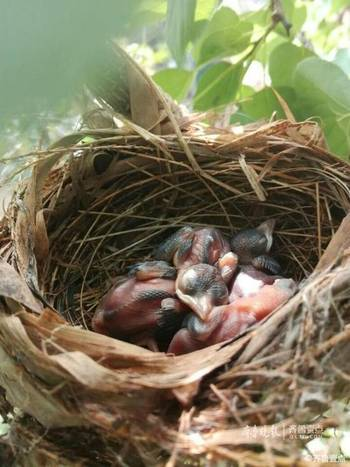 爱 壹粉家里的樱桃树上住进了小鸟一家图片
