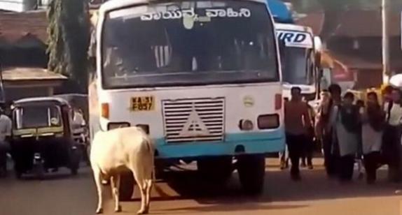 印度这头母牛5年如一日的阻拦同一辆公交车,知道原因后令人沉思……