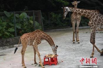 """深圳野生动物园为小长颈鹿举办 """"520"""" 生日庆祝会"""