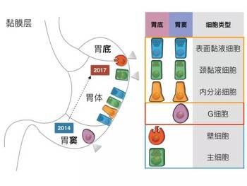 胃的解剖结构及细胞构成示意图.图片:文献1-2