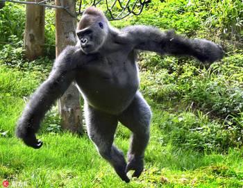 可爱!英动物园大猩猩为游客表演芭蕾舞
