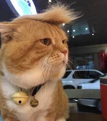 主人用猫掉的毛,给它做了个假发,这是川普猫?