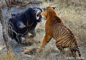 """动物大战的十个精彩瞬间!二哈最蠢,""""平头哥""""霸气"""