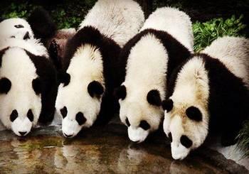 倡导市民提高保护野生动物的意识,还为四只即将到达沈阳的大熊猫宣传