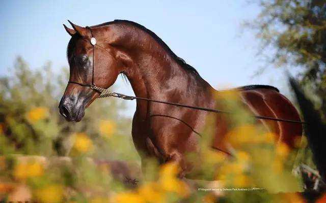 靈動而俊俏的阿拉伯馬(一)圖片