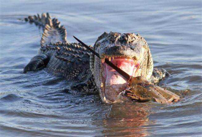 鳄鱼从水里瞬间揪出大螃蟹,发现螃蟹太大根本咽不下去图片