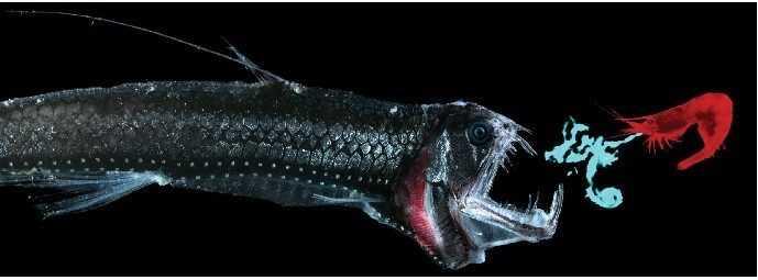 深海最为奇特的鱼类之一毒蛇鱼