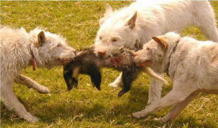 下司犬:中华名猎,贵州那边的狗,非常有名,能看家,会护卫,能捕猎,猎杀
