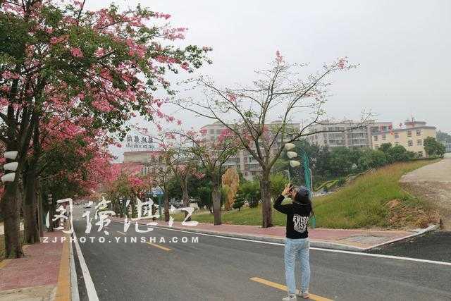 国家水利风景区鹤地银湖美丽异木棉树花开绽放