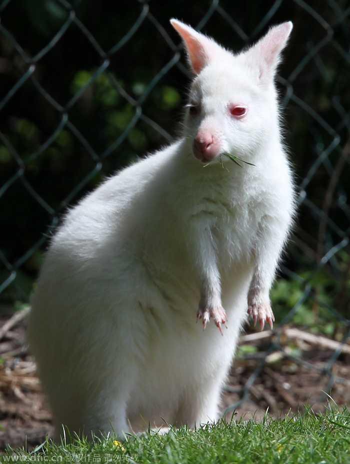 """盘点动物界的""""白雪公主"""" :罕见双头白化蛇"""