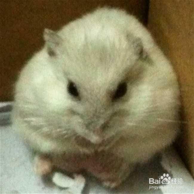喂食人类要荤素搭配,即面包虫五谷杂粮青菜叶,但是不给仓鼠吃的青蛙媽祖食物图片