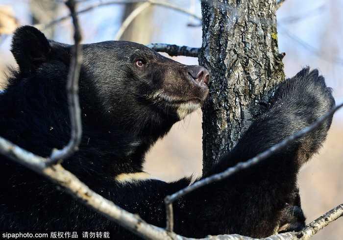亚洲讯雷_俄一亚洲黑熊爬树木 狂啃树干超滑稽