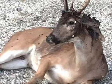 鹿被吞噬成僵尸鹿痛不欲生 被螺旋蛆吞噬掉了半个脑袋