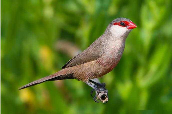 蜡嘴鸟_最欢迎的笼鸟之一,被称为蜡嘴鸟的——梅花雀属