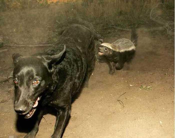 """蜜獾以""""世界上最无所畏惧的动物""""被收录在吉尼斯世界纪录大全中数年之"""