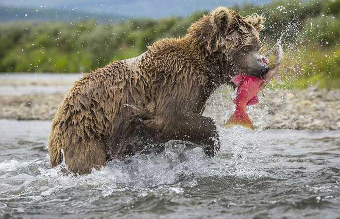 哪里有欧美幼幼资源_母熊捕鱼喂食幼崽亲情浓