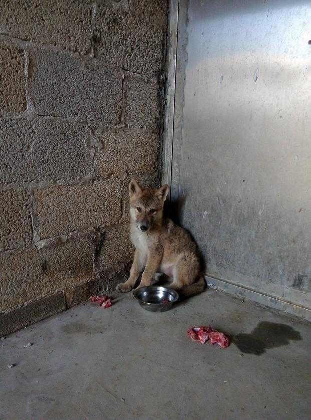 母狼的生活习性和生殖特点,特地给它安排了一只同样大小的广西土猎小