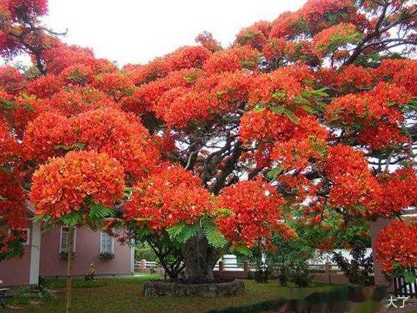 红花楹_叶如飞凰之羽,花若丹凤之冠-----凤凰木(红花楹)