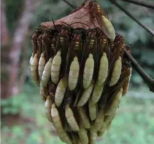 杀人蜂小伙:农村事件回老家路上大便蜂蛹以为捡了谁知宜,发现竟是杀人dnf苍蝇3图片