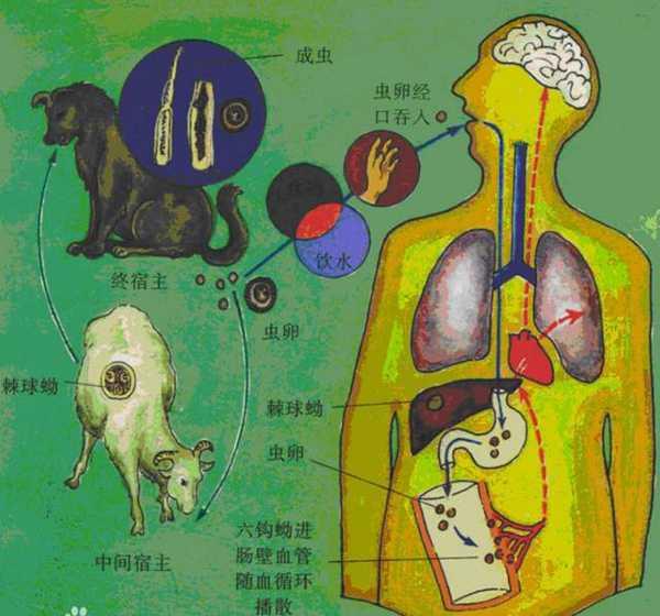 狗是包虫病的主要传染源.