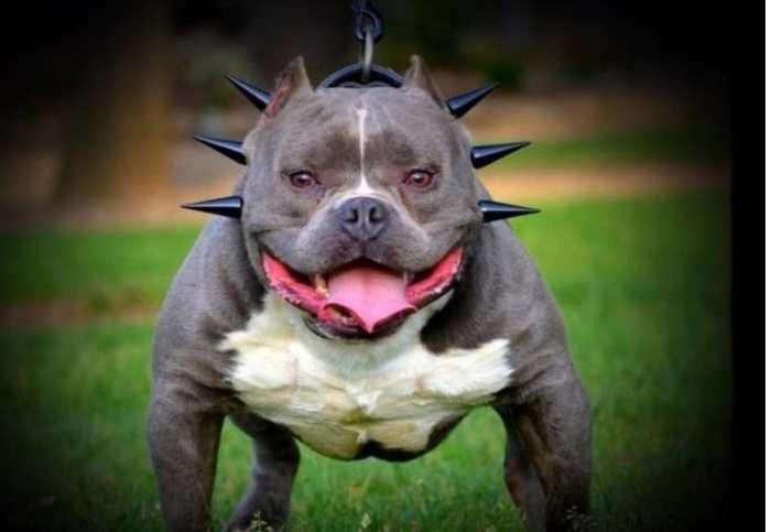 美国恶霸犬_美国恶霸犬,看着这么面目狰狞的外表,你觉得它可爱吗?