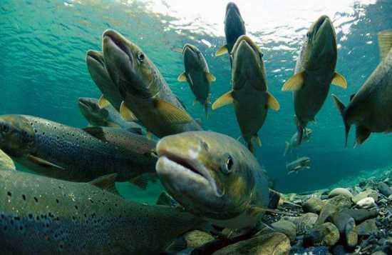 男子放生怪鱼被阻,为世界十大淡水凶猛鱼之一。昨日早上9时许,广东佛山市公安局禅城分局高新派出所社区民警利永鹏正在辖区内的东平河边巡逻,发现一名男子站在河边,形迹可疑,手里还提着一个黑色的大塑料袋,袋内装有怪鱼。据专家称此鱼名叫鳄雀鳝,是和食人鲳齐名的世界十大淡水凶猛鱼之一,其属史前鱼类,在地球上已生存1亿多年,是一种古老鱼种,比恐龙还早出现,有着活化石之称。 这条怪鱼体长70公分,体色黄黑相间、腹部白色,嘴巴酷似鳄鱼嘴,上下颌还有骨板,嘴里长满了白色锋利的牙齿。它的身体被菱形的硬鳞覆盖,像是蛇