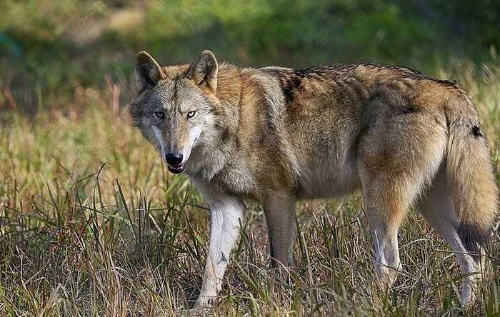 老人救怀孕母狼,最后竟招来横祸!