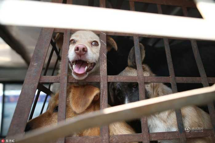 这些狗收来后,经过屠宰流入昆明市场,甚至销往省外.