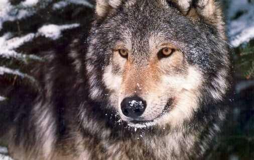 老人养150匹野狼 伙食费年花近百万