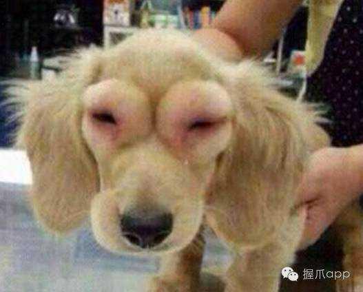 那么狗狗被蜜蜂蛰了成都春熙路大熊猫图片