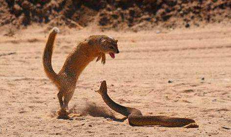 这个时候毒蛇找准机会突然就蹿了起来,将这只猫鼬吓了一大跳,这个时候