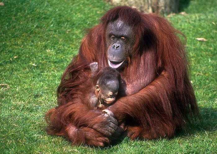 萝繁殖_它们是世界上最大的树栖,也是繁殖最慢的哺乳动物.图为婆罗洲猩猩.