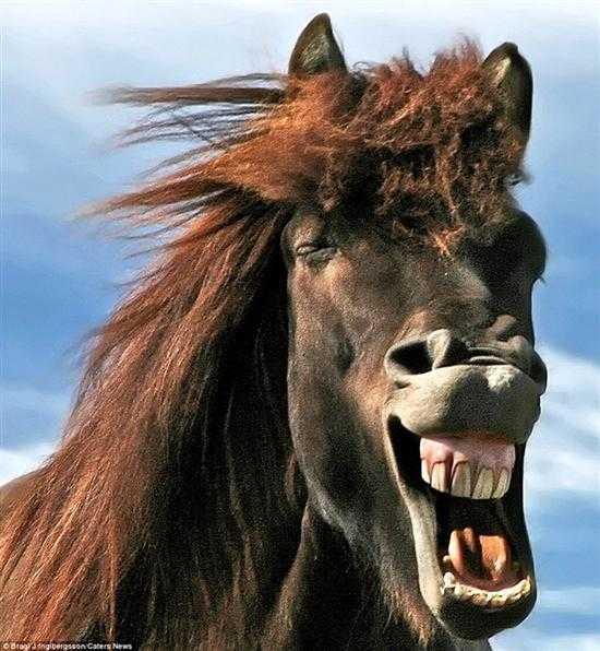 表情销魂 生活在冰岛的马儿竟如此幸福-好看图片