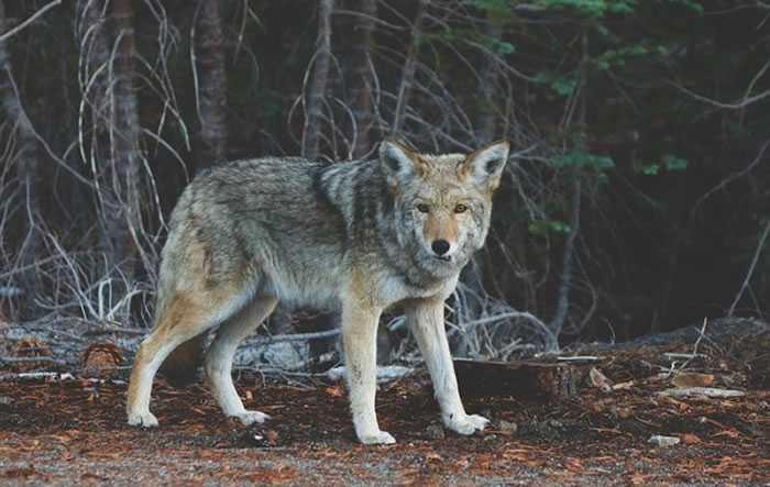 也由于野狼攻击动物的事件不断,让当地人相当害怕狼是否也会开始攻击