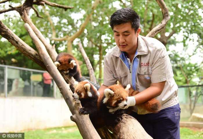 可爱萌物来袭!烟台三胞胎小熊猫与游人见面