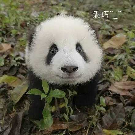 这里有萌得你流鼻血的熊猫宝宝和熊猫幼崽,团子圆滚滚实在太可爱