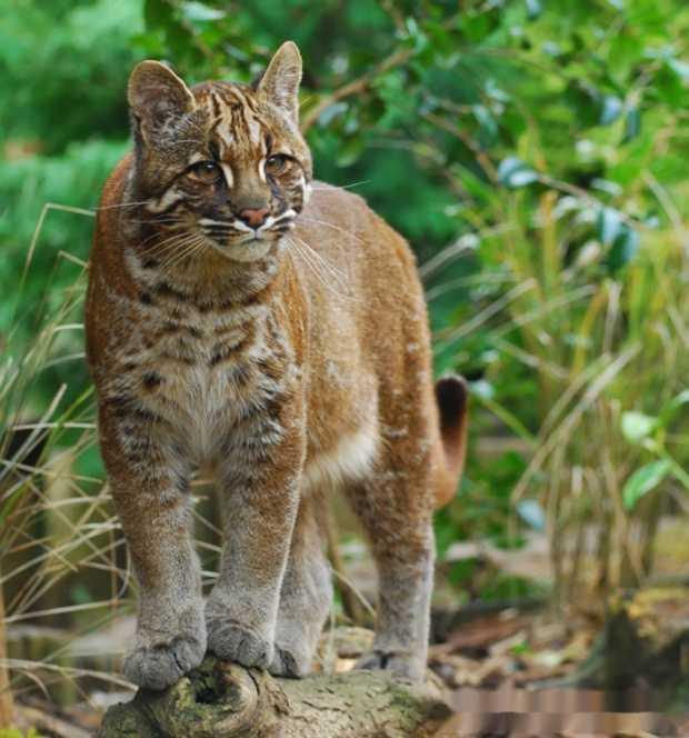 亚洲豹猫_猫有野生的吗