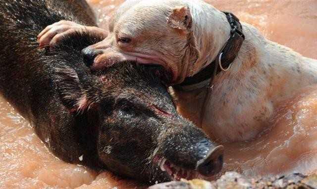 小小杜高犬竟胆大妄为去捕杀野猪,现场是血淋淋的一片