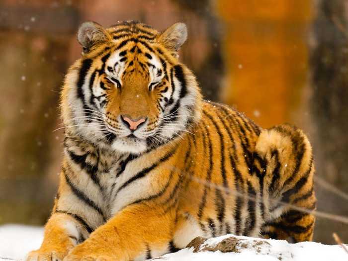世界上最强大的猫科动物-东北虎
