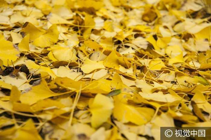 2016年11月20日,江苏省南通市海安县,海安县城一生活区内村落的银杏叶