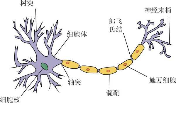 神经元结构