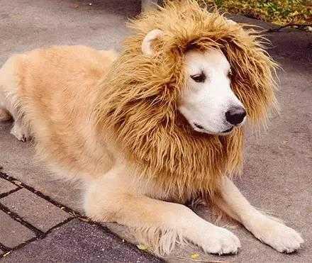 萌宠萌图第873:主人,说好霸气,威武的狮子形象呢?