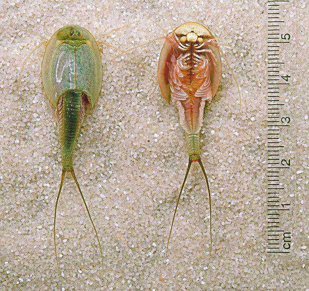 鲎虫_中国唯一的鲎虫,三眼恐龙虾,被日本人当作宠物养!