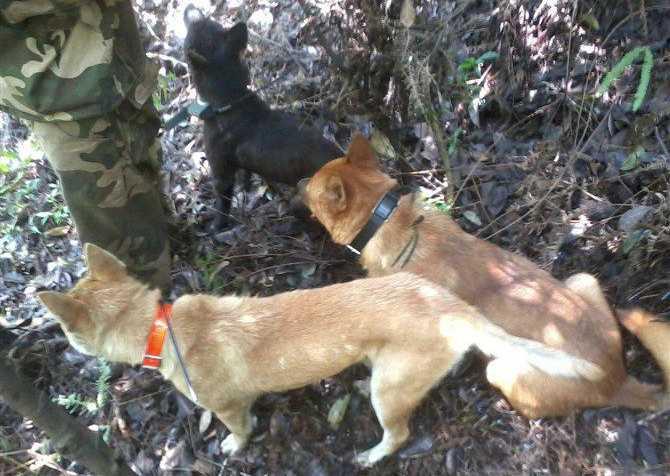 大野猪偷吃农民山羊,被狩猎队顺利击毙