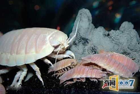 大王具足虫又叫巨型深海大虱,巨型等足虫.生活在大西洋深海.
