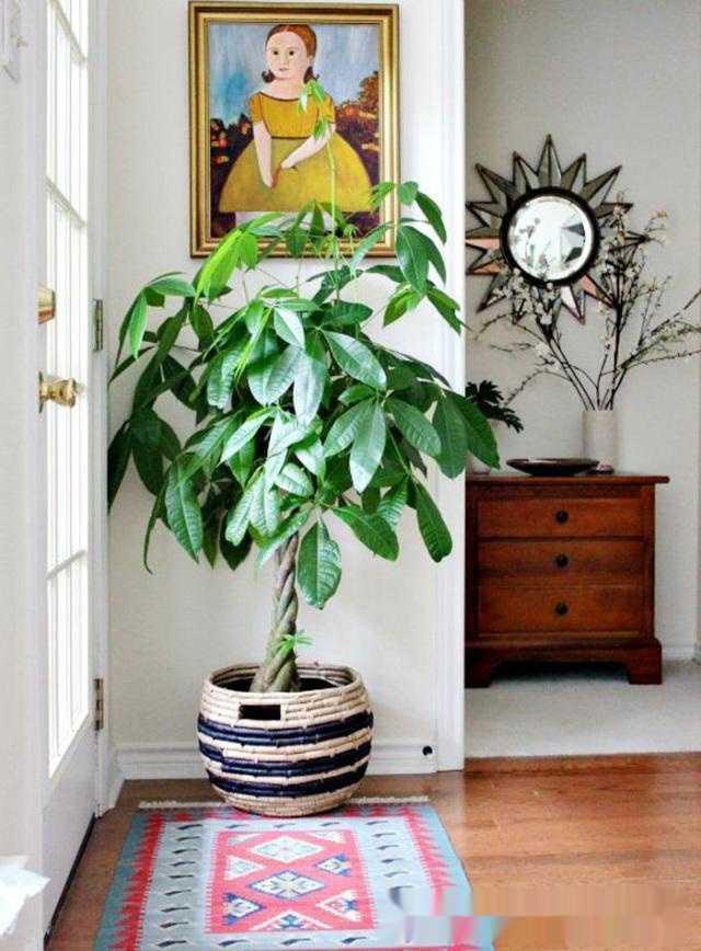 发财树需至于通风良好的环境,冬季大家较少开窗,室内温度高湿度低,不