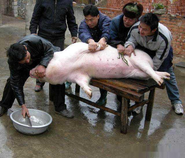 实拍农村杀猪匠杀年猪,刀法娴熟速度快