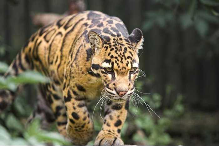 云豹别称乌云豹,龟纹豹,荷叶豹,艾叶豹,樟豹,为哺乳纲的猫科动物,有三