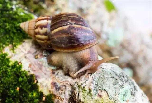 一只非洲大蜗牛可长达25厘米.法布尔蜜蜂阅读答案图片